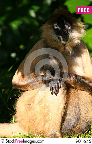 Free Monkey Eyes In Shade Royalty Free Stock Photo - 901645