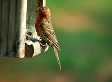 House Finch Stock Image