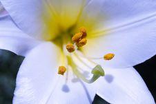 Free Lilium 9 Stock Images - 900394