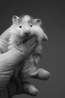 Free Small Hamster - 6 Royalty Free Stock Image - 900416