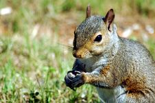 Free Squirrel Royalty Free Stock Images - 900789