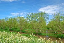 Orchard In Springtime Stock Image
