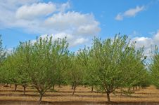 Orchard In Springtime Royalty Free Stock Photos