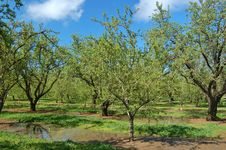 Orchard In Springtime Royalty Free Stock Photo