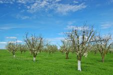 Free Orchard In Springtime Royalty Free Stock Images - 901139