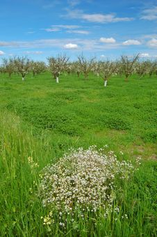 Free Orchard In Springtime Stock Photo - 901150