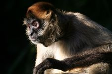 Free Monkey Staring Stock Photography - 901742