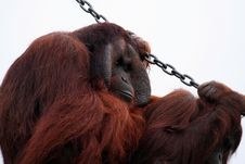 Free Orang Utan Holding A Chain Royalty Free Stock Photo - 903185