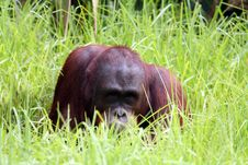 Free Orang Utan In The Grass Stock Photography - 903192