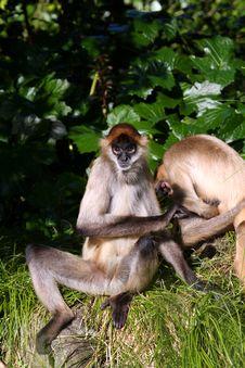 Two Monkeys Playing Stock Image