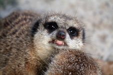 Angry Meerkat Royalty Free Stock Photo