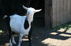 Free Goofy Goat Royalty Free Stock Photo - 903535