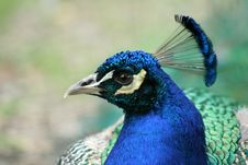 Head Peacock Royalty Free Stock Photo