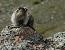 Marmot On Watch Royalty Free Stock Image