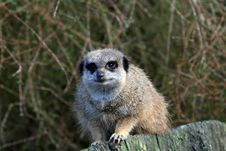 Free Curious Meerkat Royalty Free Stock Images - 904189