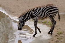 Free Drinking Zebra Stock Photo - 904190