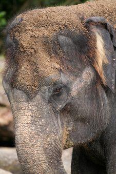 Free Elephant Head Royalty Free Stock Photography - 904197
