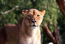 Free Female Lion Standing Royalty Free Stock Image - 904206