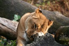Free Lion Tired Royalty Free Stock Photos - 904268