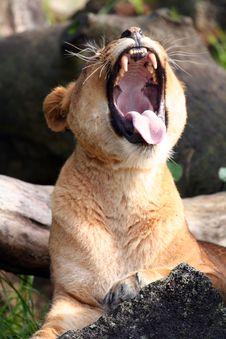 Lion Yawning Royalty Free Stock Images