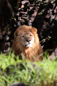 Free Lion Stock Photo - 904280