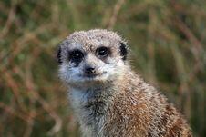 Free Meerkat Staring Stock Image - 904291