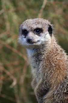 Free Meerkat Watching Royalty Free Stock Photo - 904295