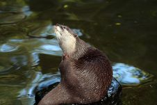 Free Otter On A Stone Royalty Free Stock Photos - 904298