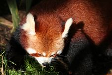 Free Red Panda Stock Image - 904301