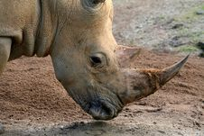 Rhinoceros Head Royalty Free Stock Image
