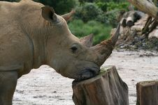 Rhinoceros Resting His Head Stock Images