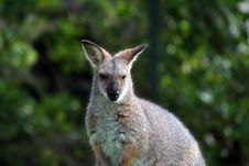 Free Wallaby Face Stock Photography - 904422