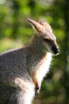 Wallaby Head Royalty Free Stock Photo