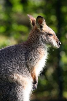 Free Wallaby Looking Right Stock Photography - 904432