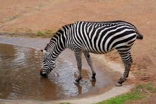 Free Zebra Drinking Stock Photography - 904462