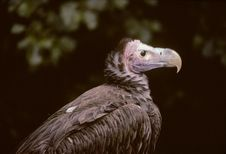 Free Vulture Stock Photography - 904572