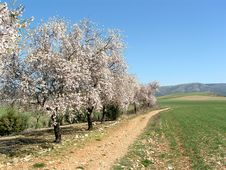 Blooming Trees In Spain Stock Images