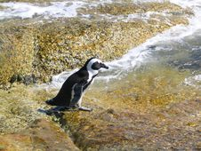 Penguin Going For A Swim In The Sea Stock Image