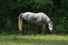 Free Dabble Grey Mare Royalty Free Stock Image - 905536