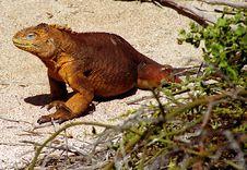 Free Curious Iguana Stock Image - 905541