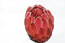 Free Protea Stock Images - 905624