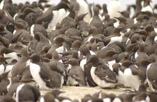 Free Guillemots Royalty Free Stock Photography - 905637