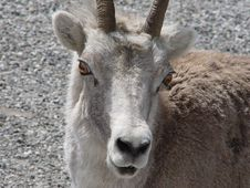 Stone Mountain Sheep. Royalty Free Stock Images