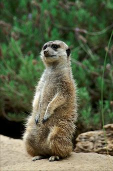 Free Meerkat Royalty Free Stock Photo - 905835