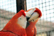 Free Macaws Royalty Free Stock Image - 905966