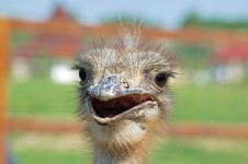Free Ostrich Stock Photography - 905982