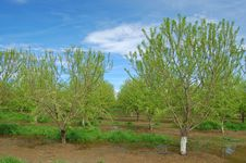 Orchard In Springtime Stock Photography