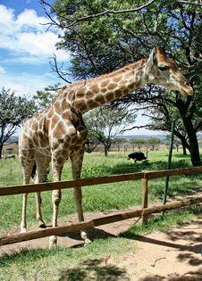 Free Giraffe Stock Photography - 906122