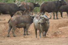 Free Muddy Water Buffalo Royalty Free Stock Image - 906206