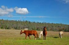 Free Horses In A Field Stock Photo - 906260